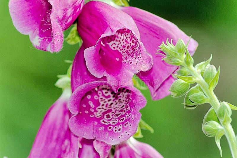 Flores de la dedalera común - digital Purpurea fotografía de archivo libre de regalías