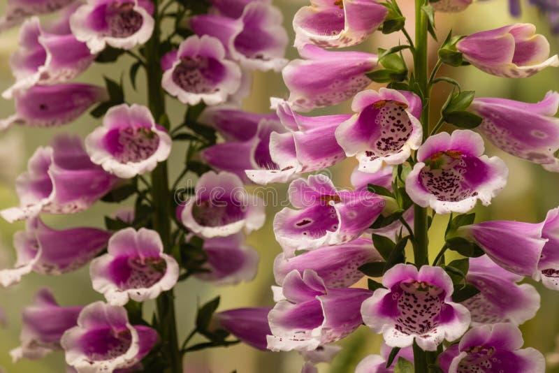 Flores de la dedalera en la floración imagen de archivo