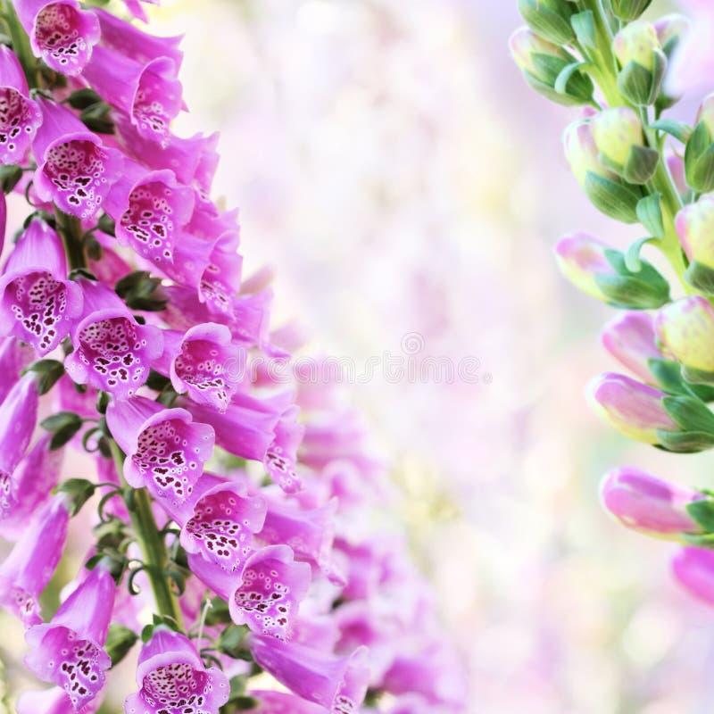 Flores de la digital o del foxglove del verano del resorte imagen de archivo libre de regalías