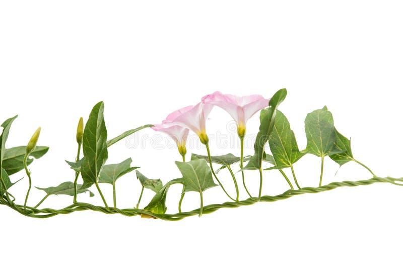 Flores de la enredadera aisladas imagen de archivo libre de regalías