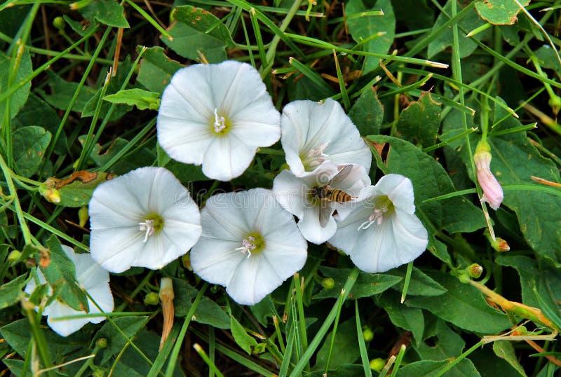Flores de la enredadera de campo fotografía de archivo libre de regalías