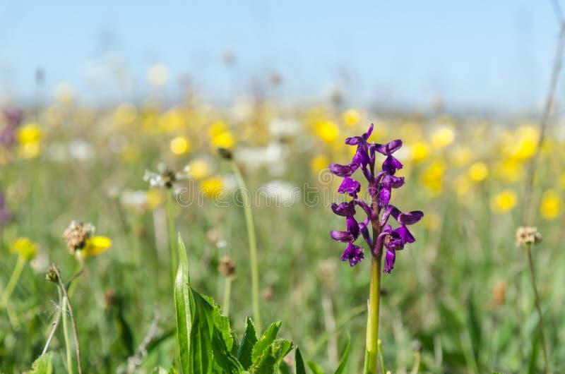 Flores de la estación de primavera con una orquídea creciente salvaje en una imagen del nivel del suelo fotos de archivo libres de regalías
