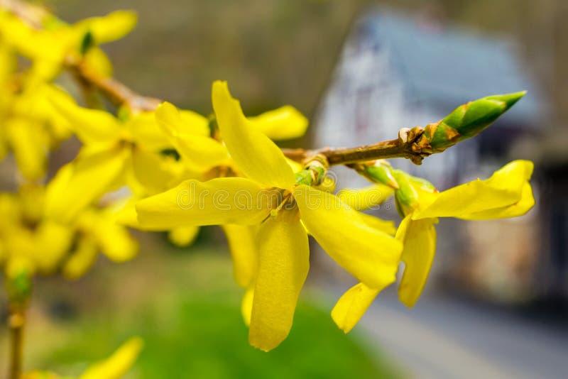 Flores de la forsythia delante con de la hierba verde y de la casa europea Bell de oro, forsythia de la frontera que florece en a fotografía de archivo