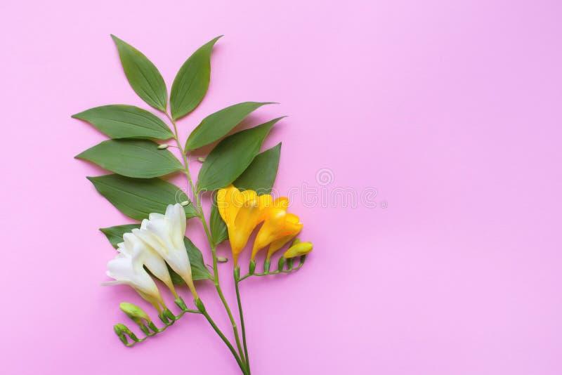 Flores de la fresia en el fondo rosado Para su texto fotos de archivo libres de regalías