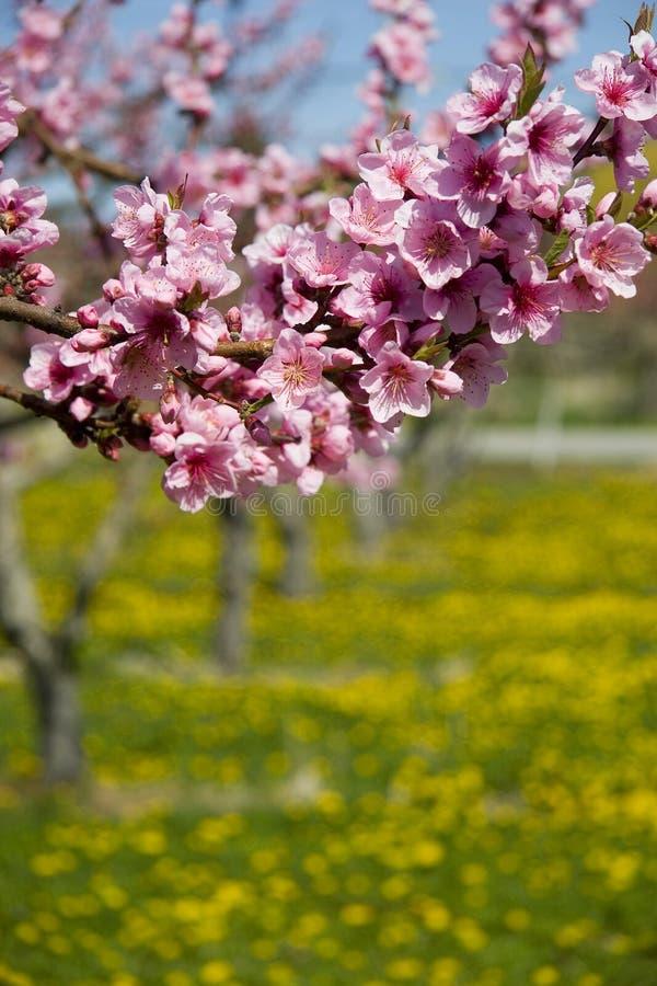 Flores de la fruta imagen de archivo