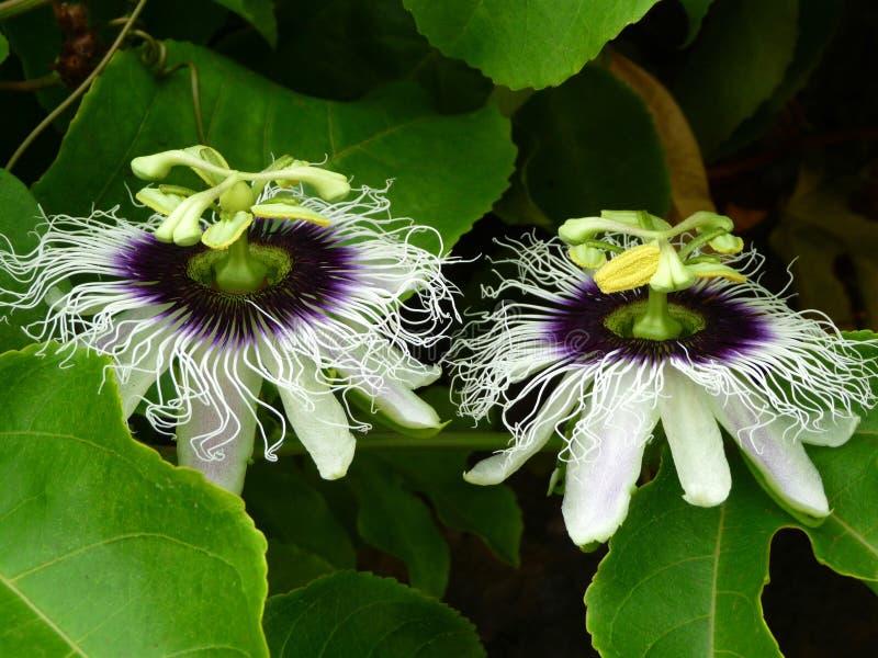 Flores de la fruta de la pasión imagen de archivo libre de regalías