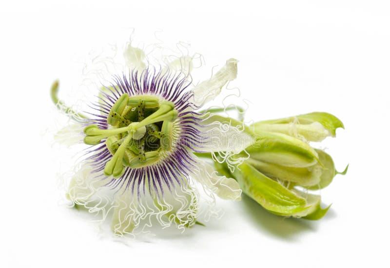 Flores de la fruta de la pasión en blanco imagenes de archivo