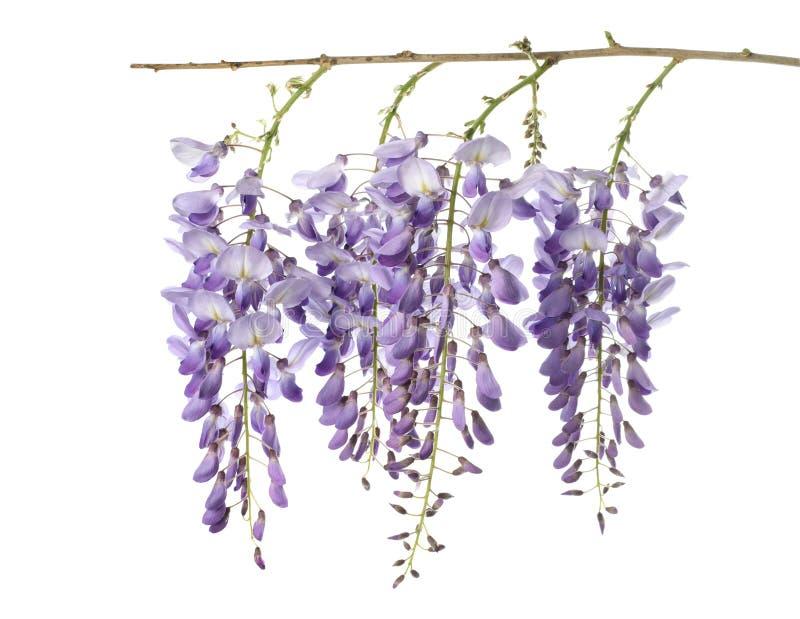 Flores de la glicinia aisladas imágenes de archivo libres de regalías