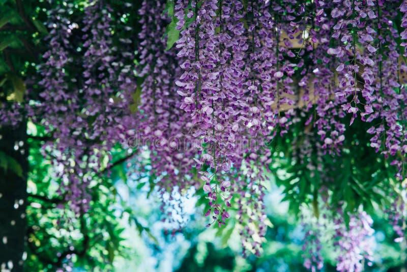 Flores de la glicinia en un parque imagen de archivo libre de regalías