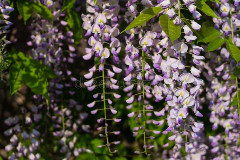 Flores de la glicinia que cuelgan de una rama curvaceous gruesa fotografía de archivo libre de regalías