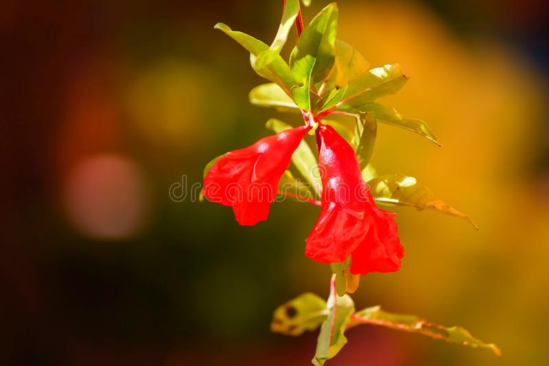 Flores de la granada fotografía de archivo