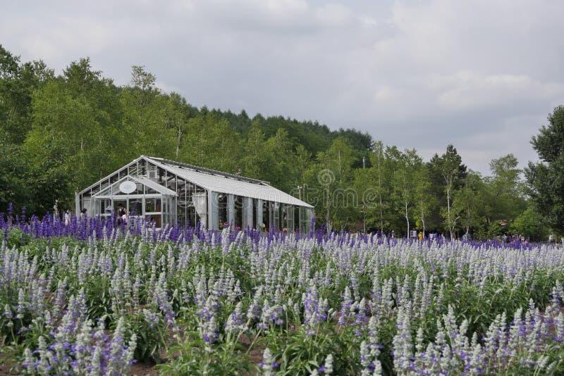 Flores de la granja de la lavanda de Tomita, Hokkiado imágenes de archivo libres de regalías