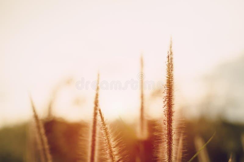 Flores de la hierba con la luz caliente fotos de archivo