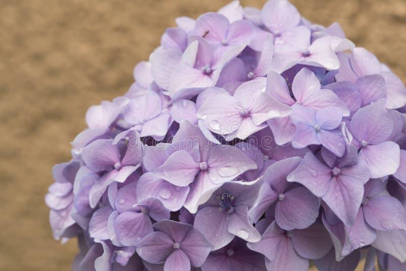 Flores de la hortensia, brotes de flor hermosos de la lila foto de archivo