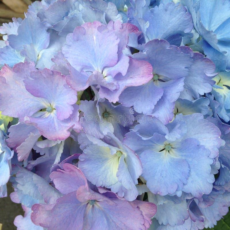 Flores de la hortensia en azul rosado de color de malva imágenes de archivo libres de regalías