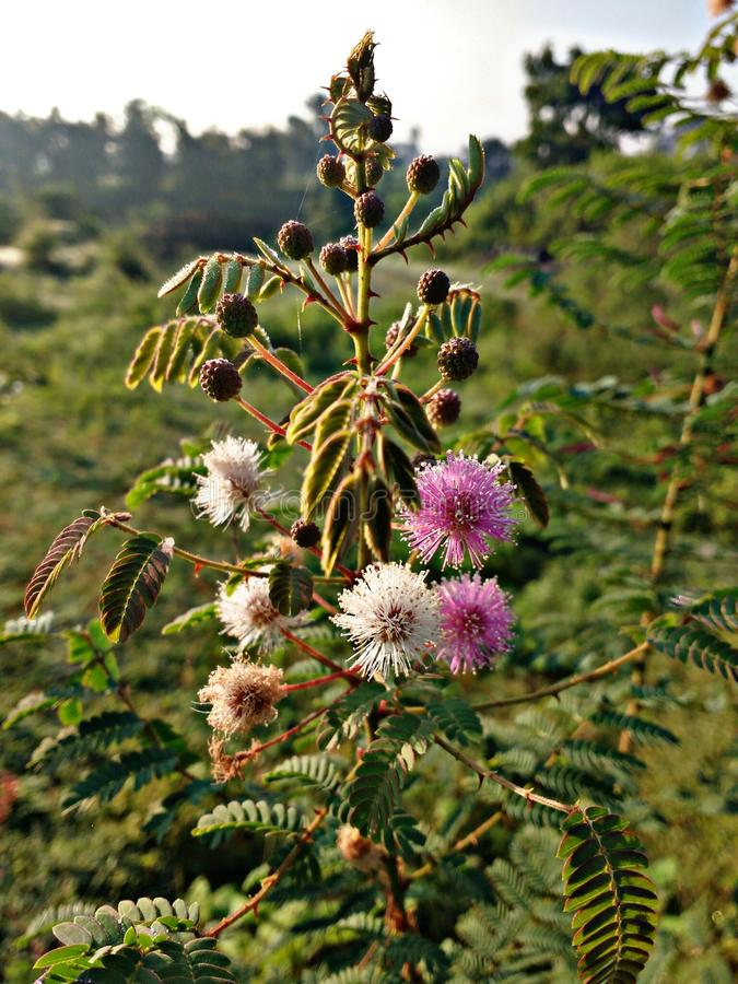 Flores de la India fotografía de archivo