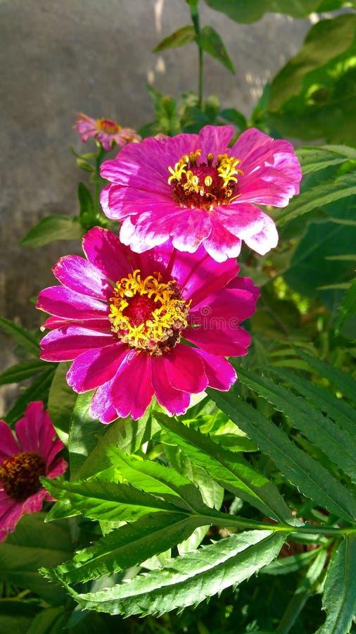 Flores de la India foto de archivo libre de regalías
