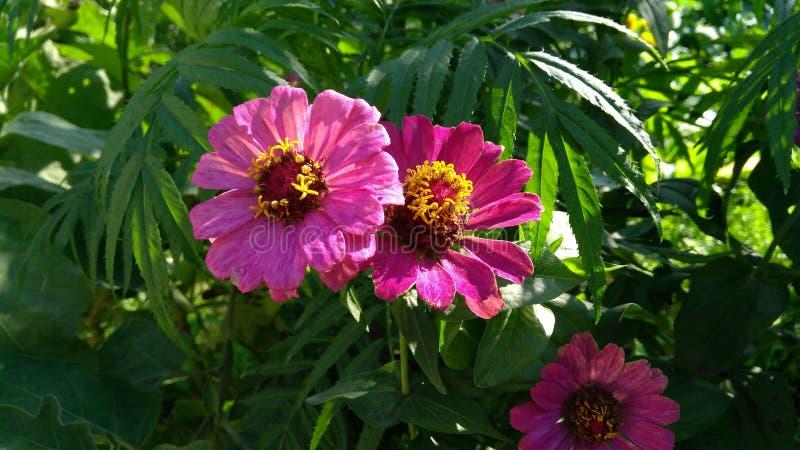 Flores de la India imagen de archivo libre de regalías