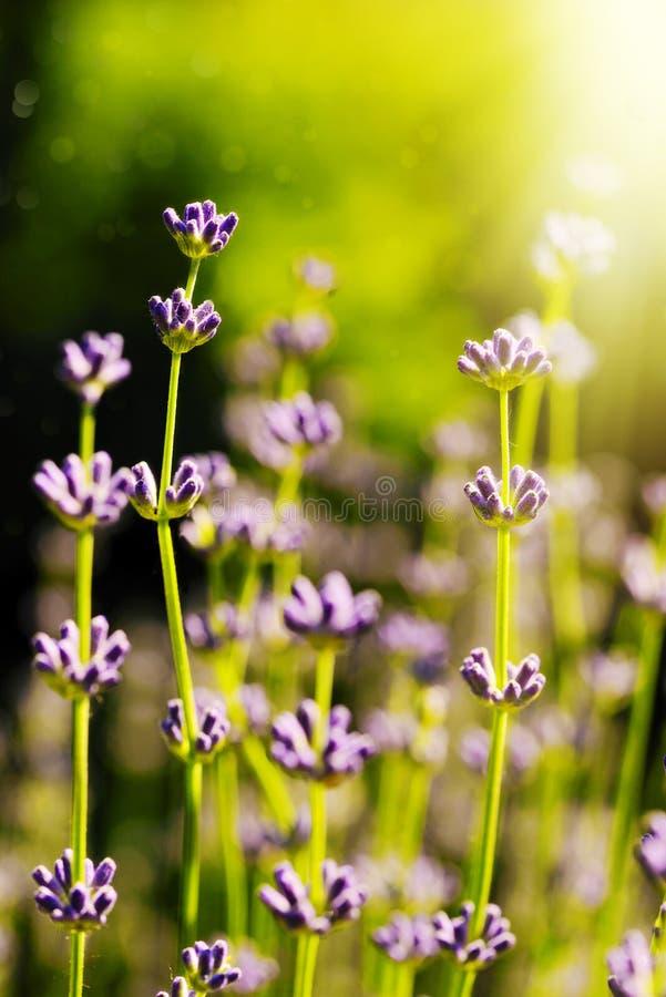 Flores de la lavanda en la luz del sol en el amanecer imagen de archivo libre de regalías