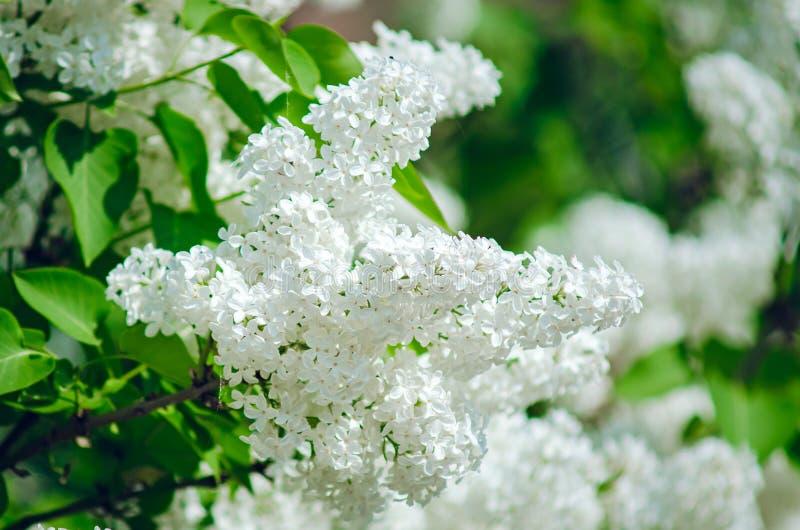 Flores de la lila blanca, primer Fondo natural del verano imagen de archivo
