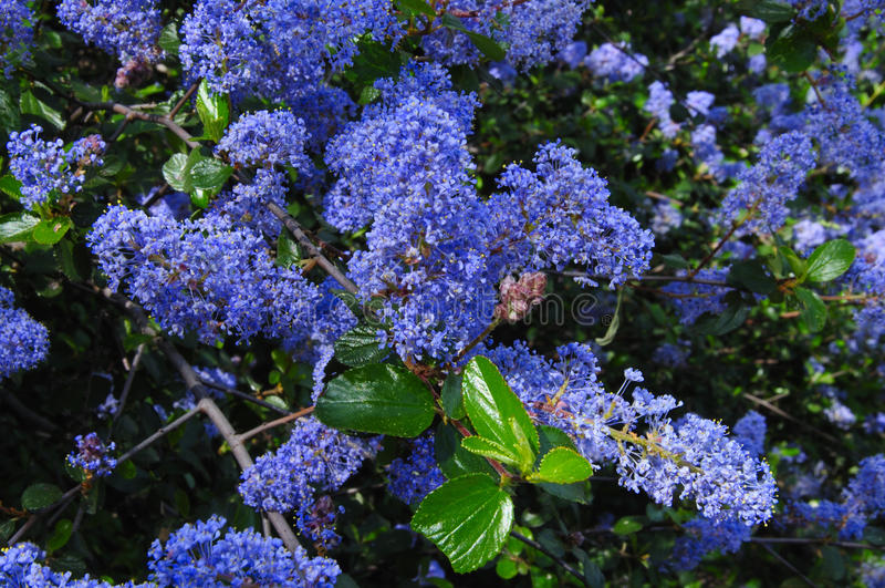 Flores de la lila de Ramona imágenes de archivo libres de regalías