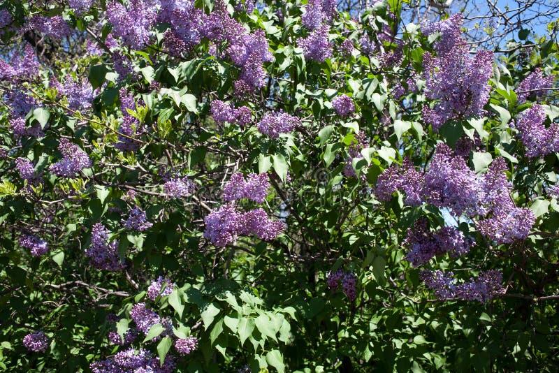 Flores de la lila del arbusto floreciente en primavera foto de archivo