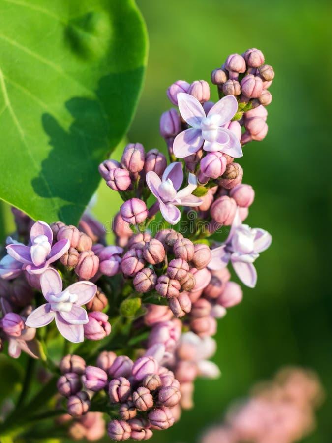 Flores de la lila de la primavera en fondo verde fotografía de archivo libre de regalías
