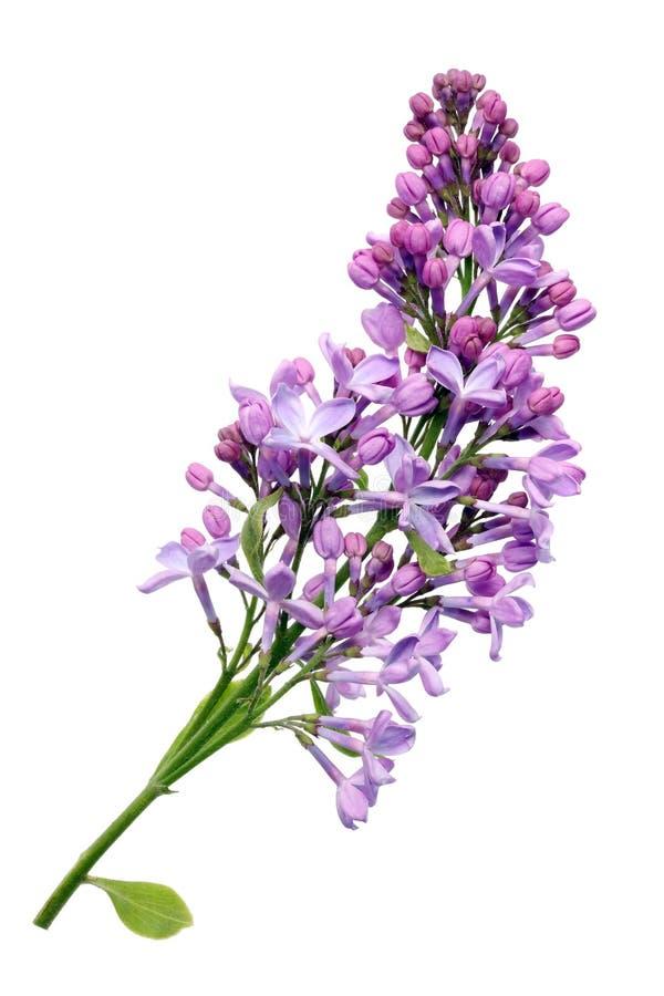 Flores de la lila real purpúrea clara en pequeña rama imagenes de archivo