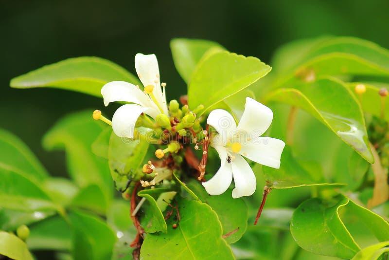 Flores de la madera satinada de Andaman con blanco foto de archivo libre de regalías