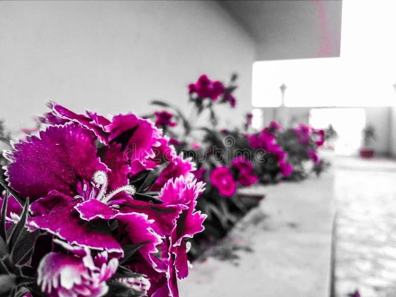 Flores de la magenta imágenes de archivo libres de regalías