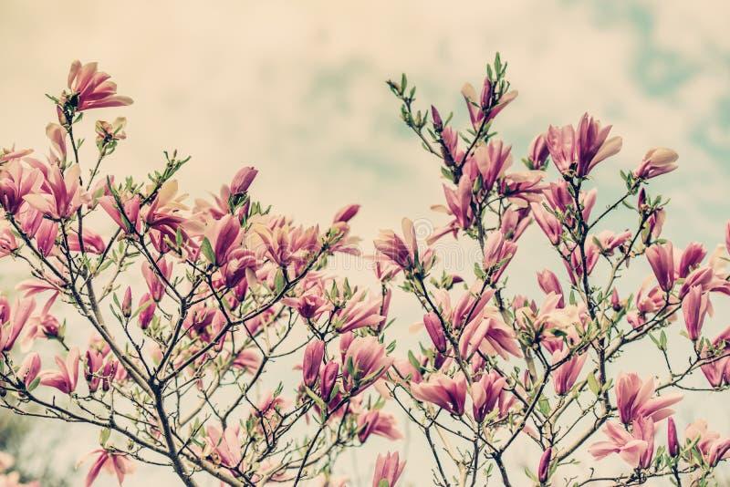 Flores de la magnolia contra un cielo azul nublado - retro imagenes de archivo