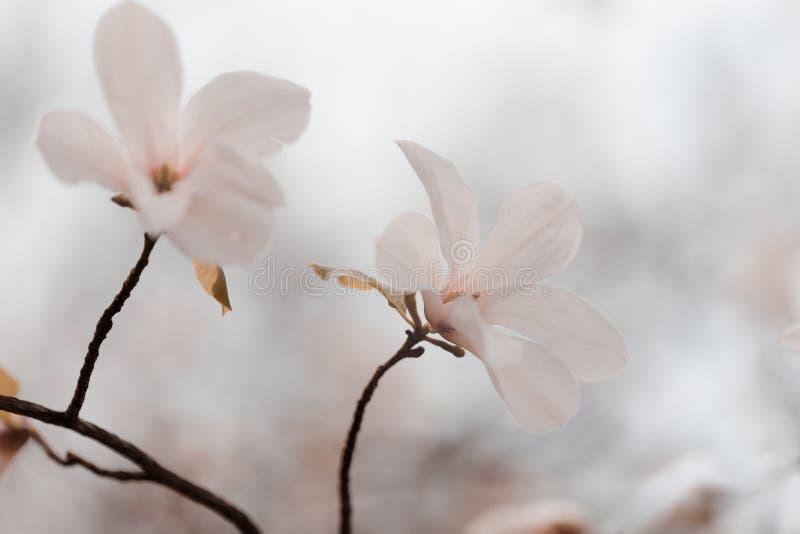 Flores de la magnolia en jardín de la primavera fotografía de archivo