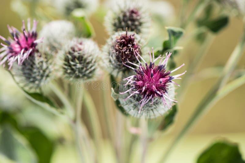 Flores de la mala hierba imágenes de archivo libres de regalías