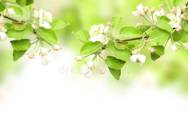 Flores de la manzana fotografía de archivo libre de regalías