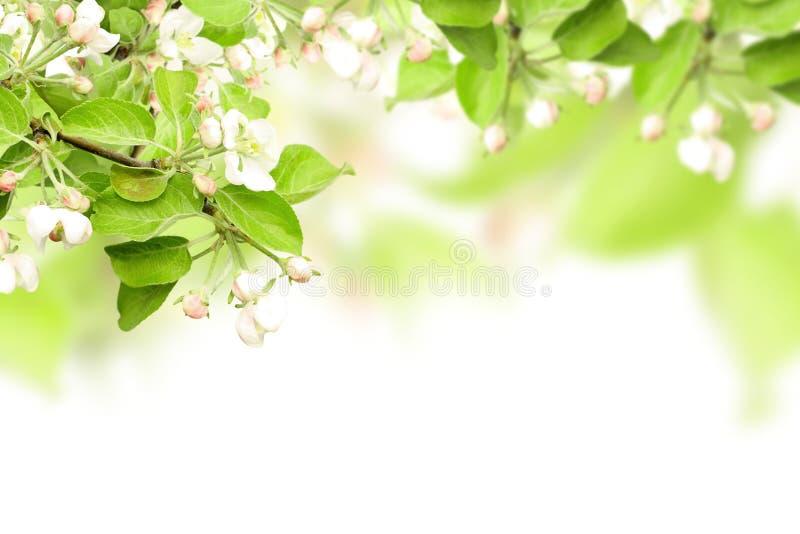 Flores de la manzana fotos de archivo