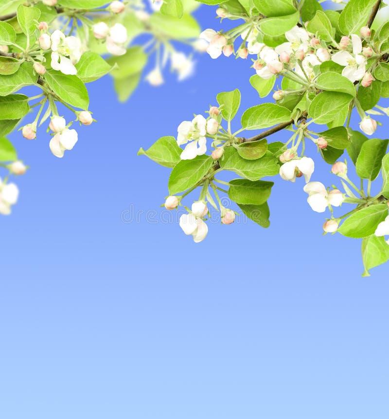 Flores de la manzana imágenes de archivo libres de regalías