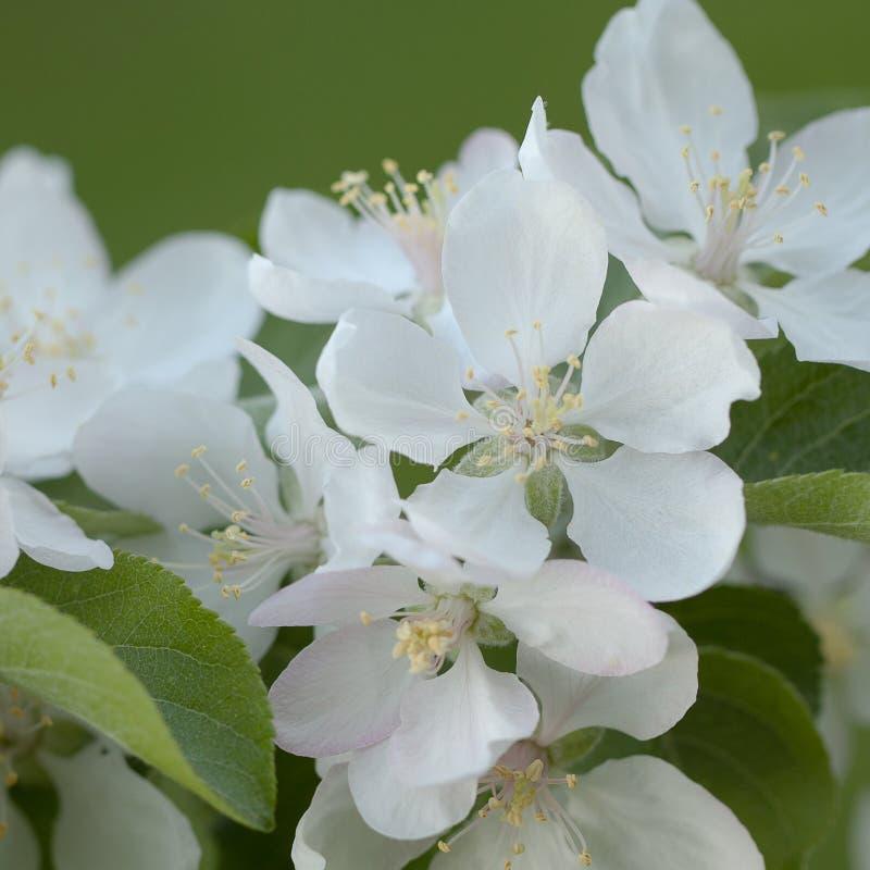 Flores de la manzana con los pétalos blancos delicados fotos de archivo libres de regalías