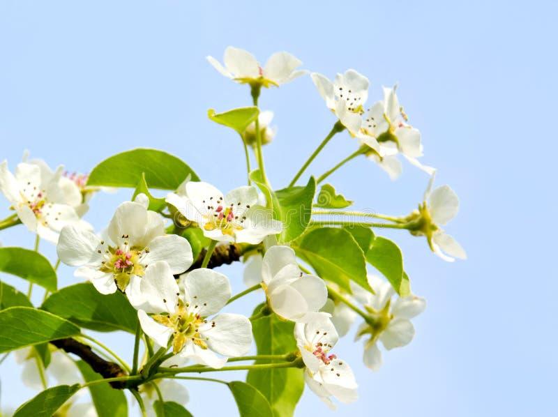 Flores de la manzana de cereza sobre fondo del cielo azul foto de archivo libre de regalías