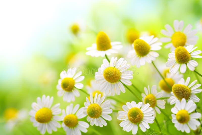 Flores de la manzanilla fotos de archivo libres de regalías