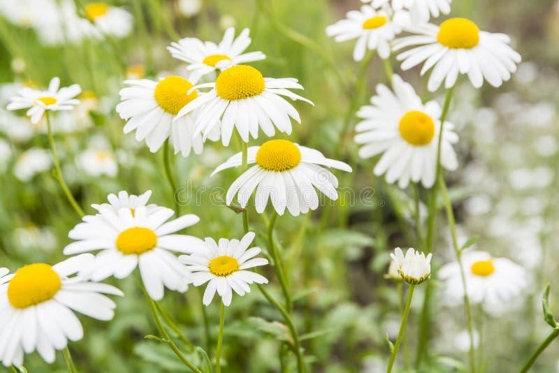 Flores de la manzanilla imagen de archivo libre de regalías