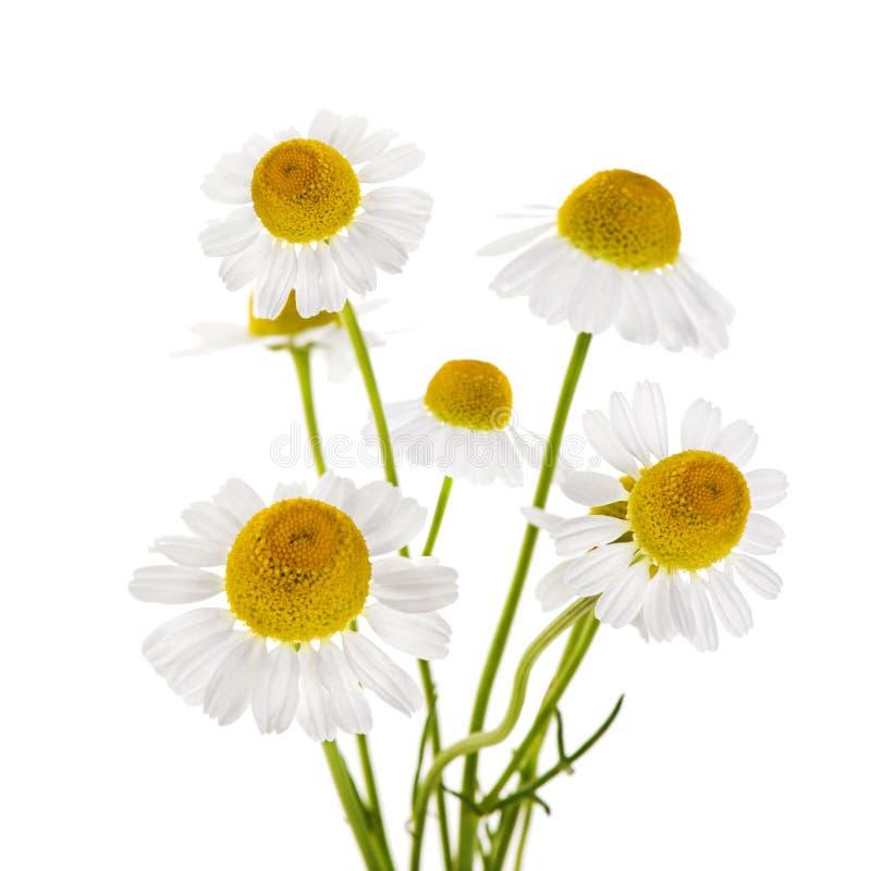 Flores de la manzanilla foto de archivo libre de regalías
