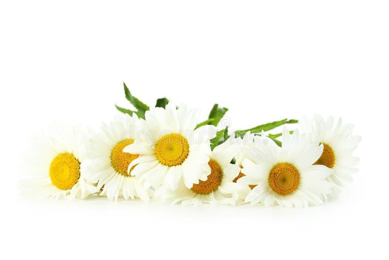 Flores de la manzanilla imágenes de archivo libres de regalías