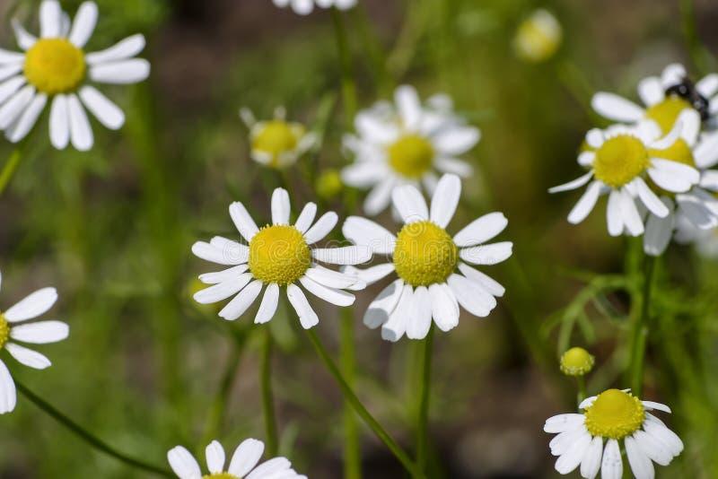 Flores de la manzanilla alemana, chamomilla del Matricaria, Baviera, Alemania, Europa foto de archivo libre de regalías