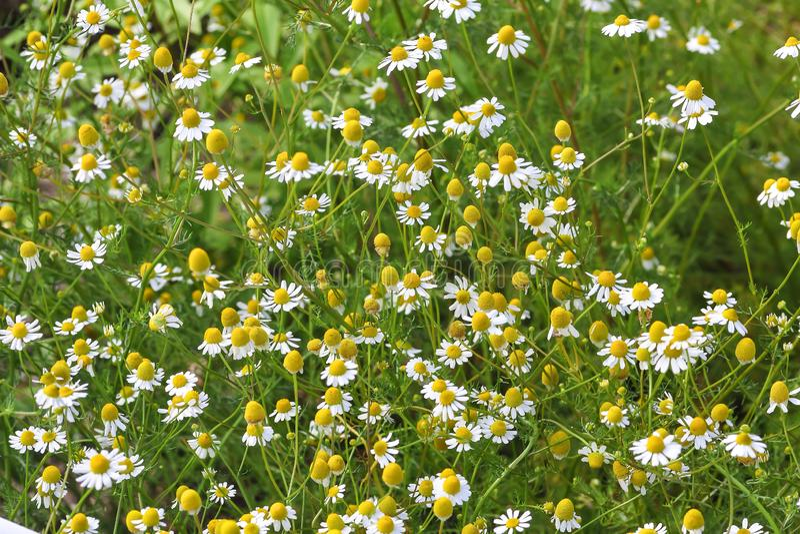 Flores de la manzanilla alemana, chamomilla del Matricaria, Baviera, Alemania, Europa foto de archivo