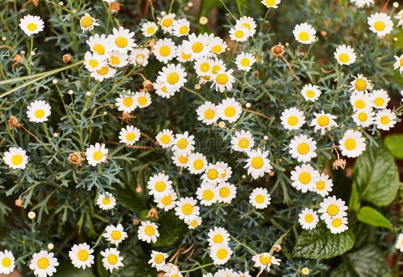 Flores de la manzanilla en a fotos de archivo