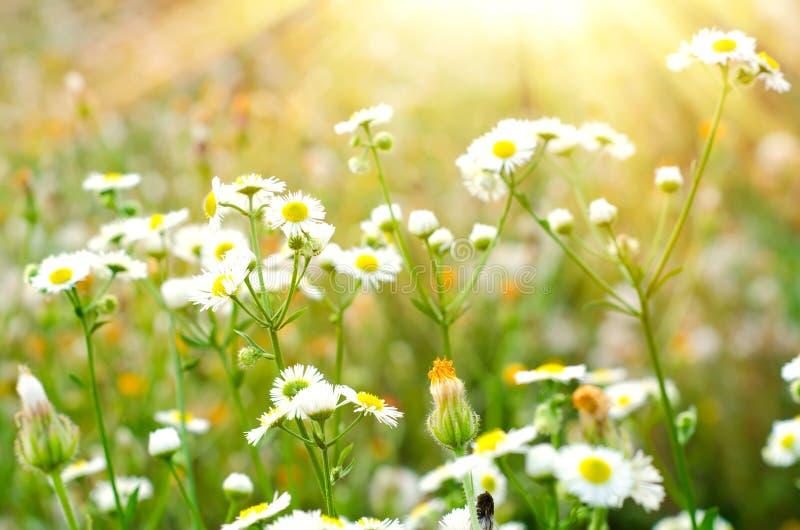 Flores de la manzanilla imagen de archivo