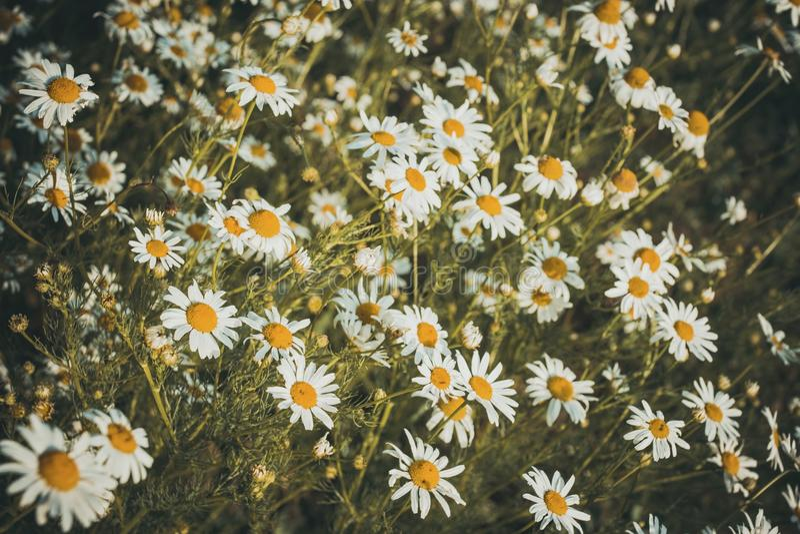 Flores de la manzanilla en un prado en verano fotos de archivo libres de regalías