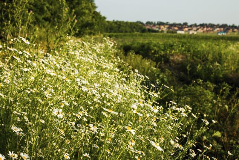 Flores de la manzanilla en un prado en verano imagenes de archivo