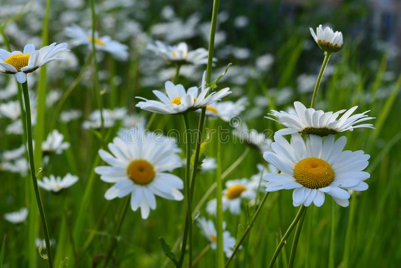 Flores de la manzanilla Escena hermosa del verano con las margaritas florecientes foto de archivo libre de regalías
