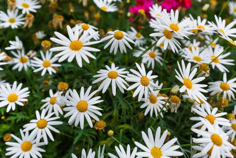 Flores de la manzanilla - fondo floral fotos de archivo